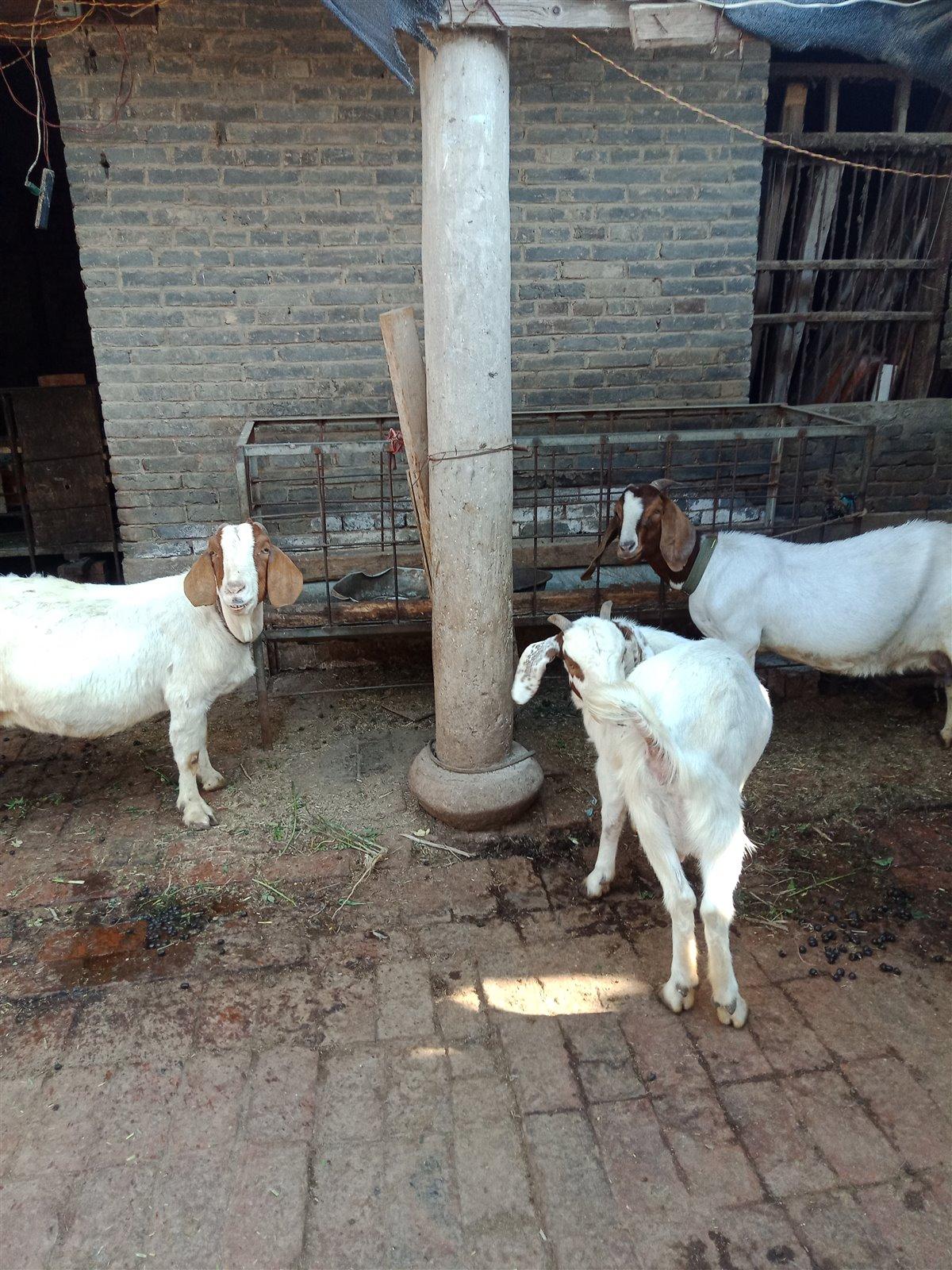 常年出售:羔羊.种羊