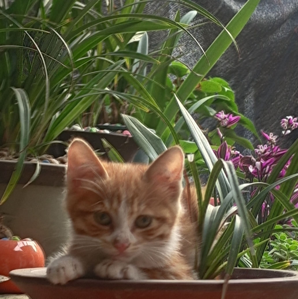 中华田园猫