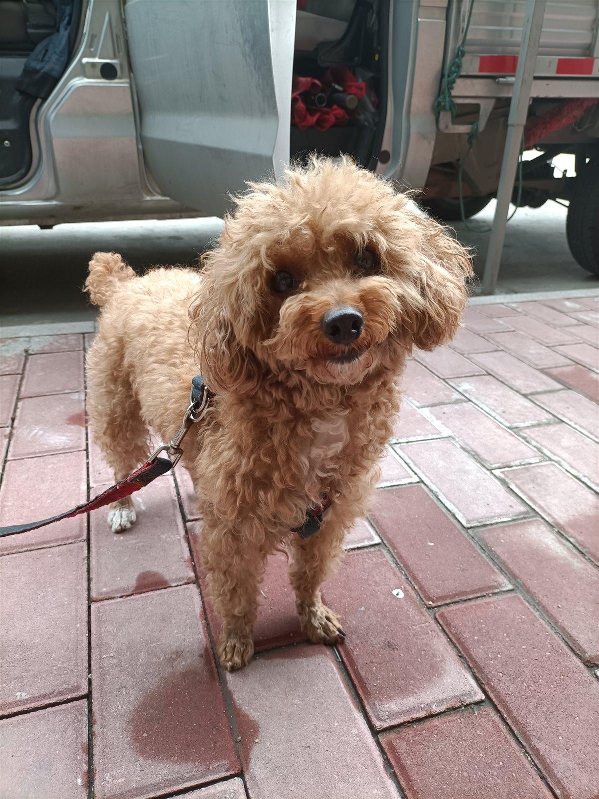 泰迪犬出售