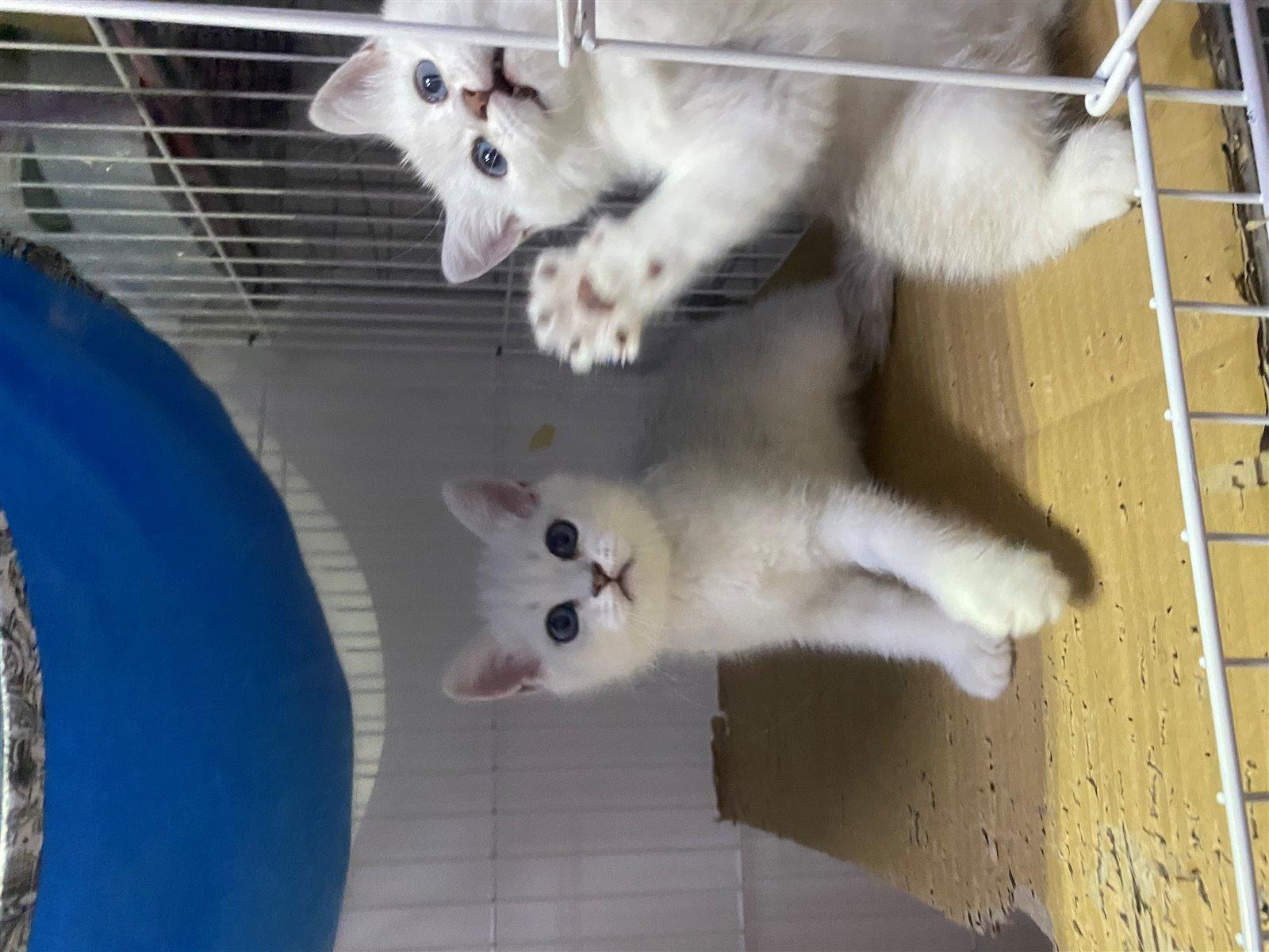 出售家养银渐层、美短、蓝猫