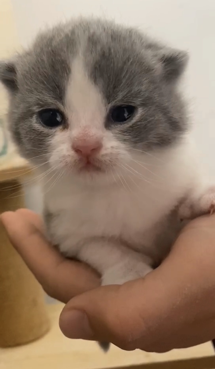 英短蓝猫蓝白,2021.1.30出生的