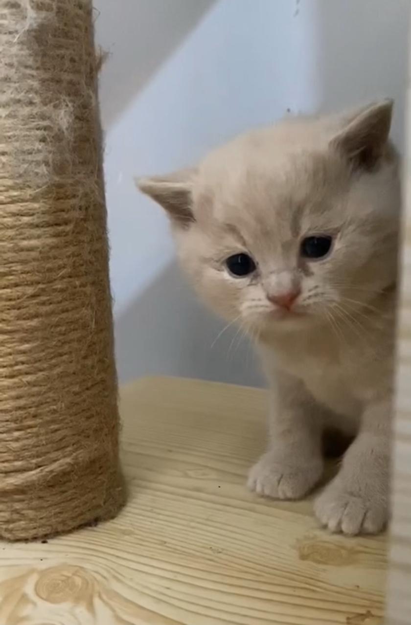 自家猫生的,英短蓝白蓝猫乳色包纯包健康