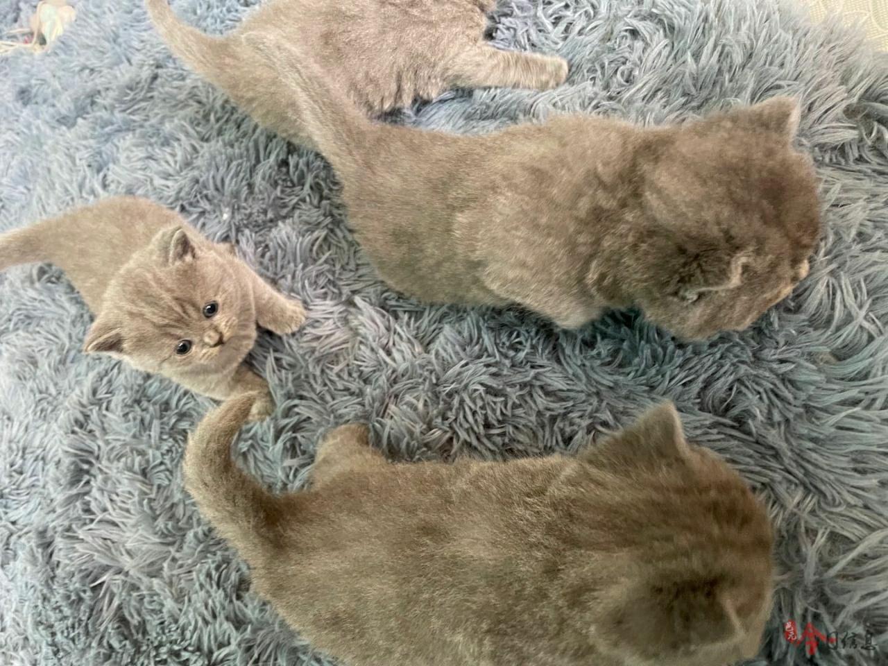 纯种蓝猫出售