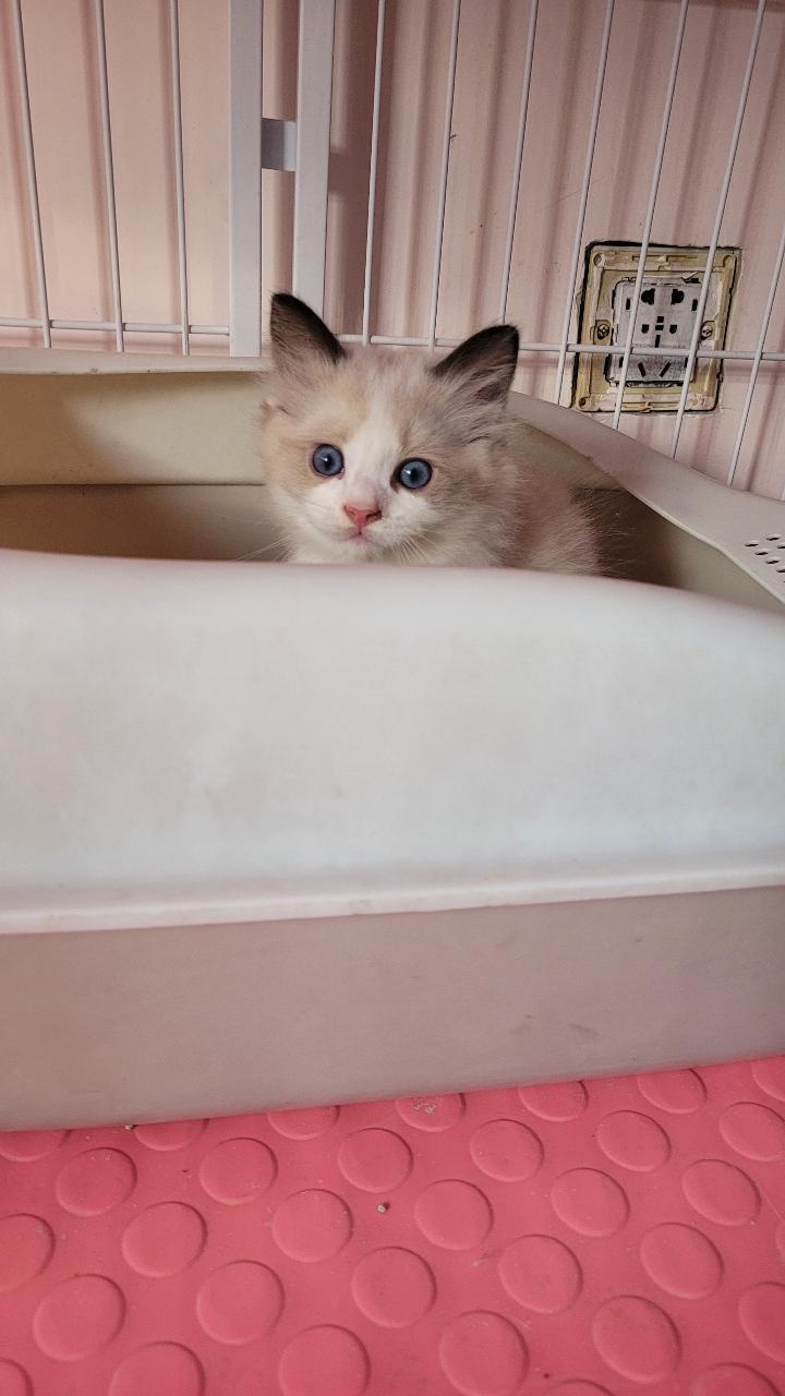 布偶猫出售卖