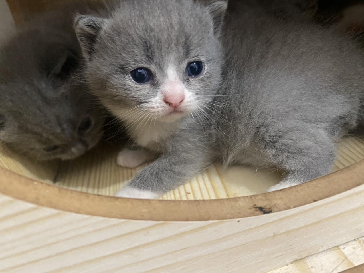 自家猫生的包子脸英短蓝白蓝猫,包纯包健康