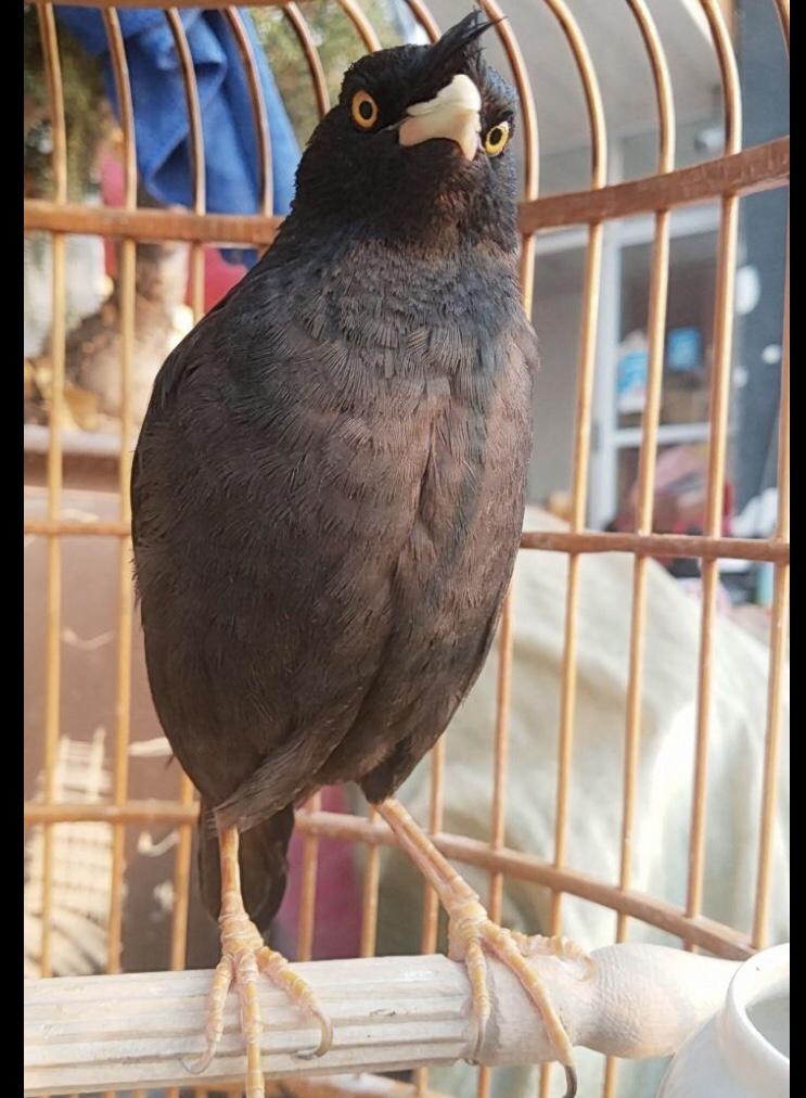 黑八非野生 说话鹦鹉 玄风  宠物鸟