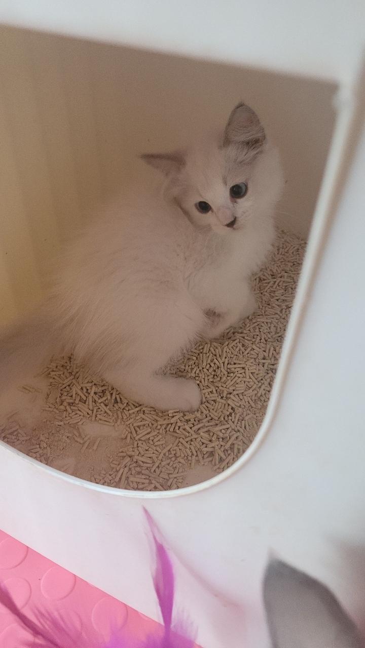 出售布偶猫公母都有