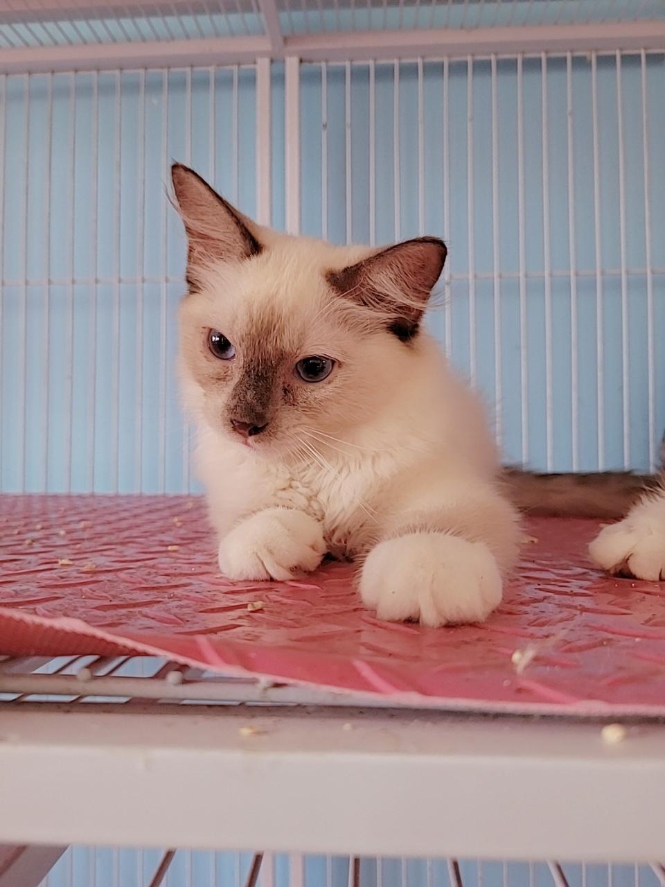 特价处理两只品相不太好的布偶猫