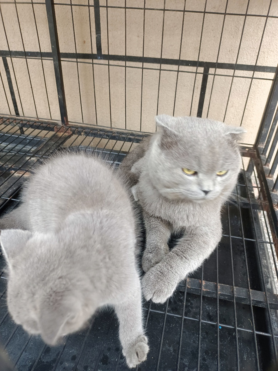 英短蓝猫【出售】,狸花猫【免费领养】!