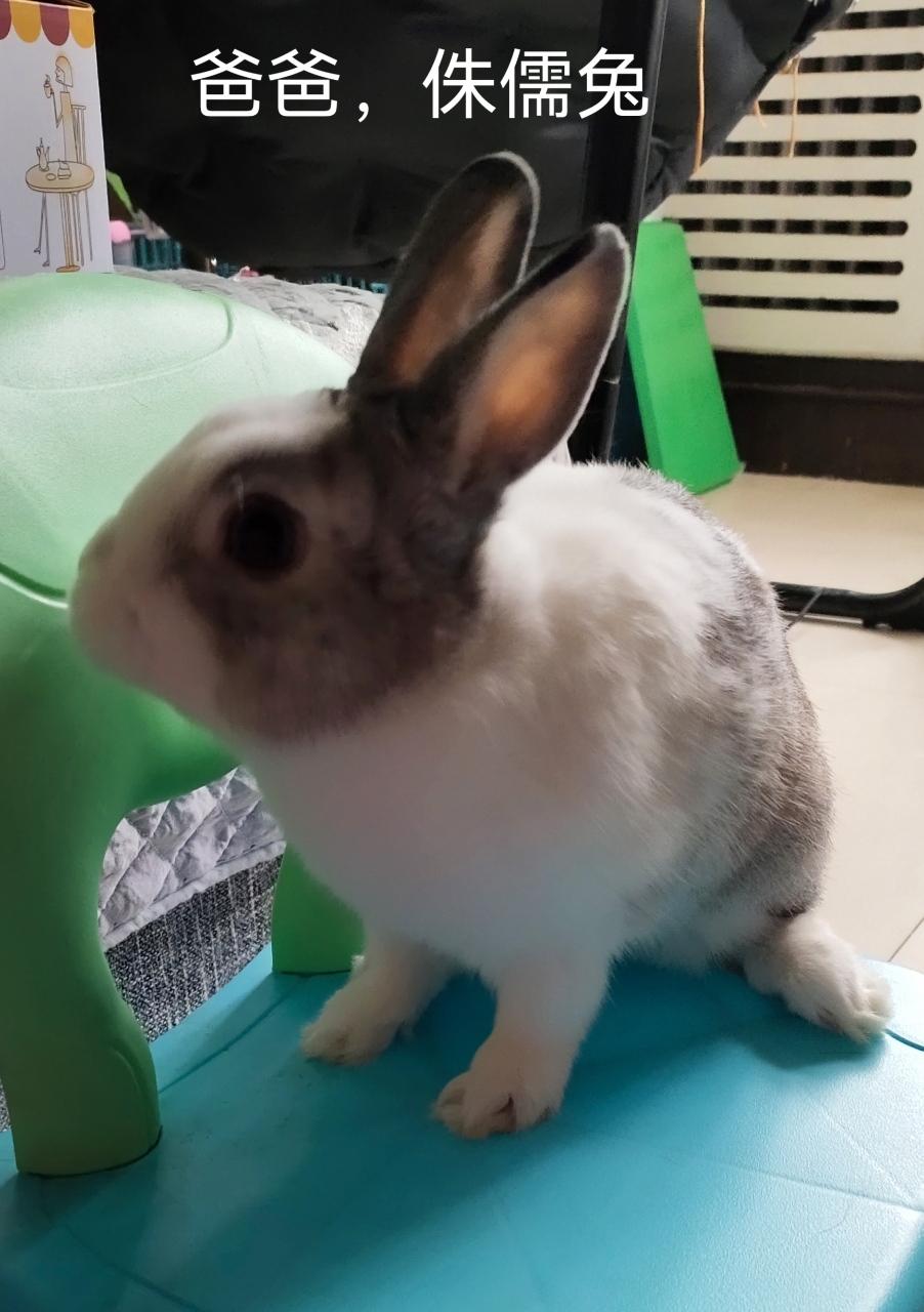 宠物兔,黑白道奇侏儒兔和垂耳兔的结合