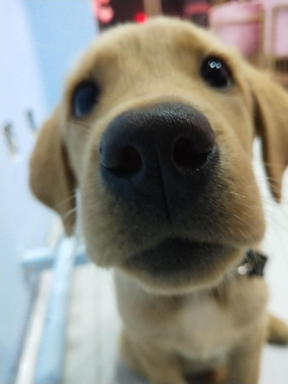 训练过的纯种拉布拉多幼犬