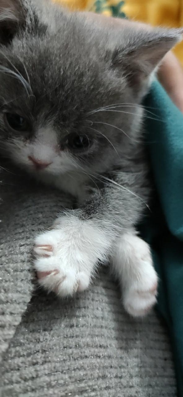 两个月大的英短蓝猫出售