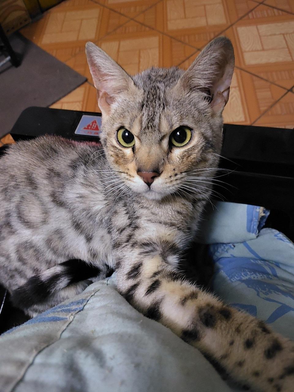 寵物孟加拉豹紋貓轉讓出售