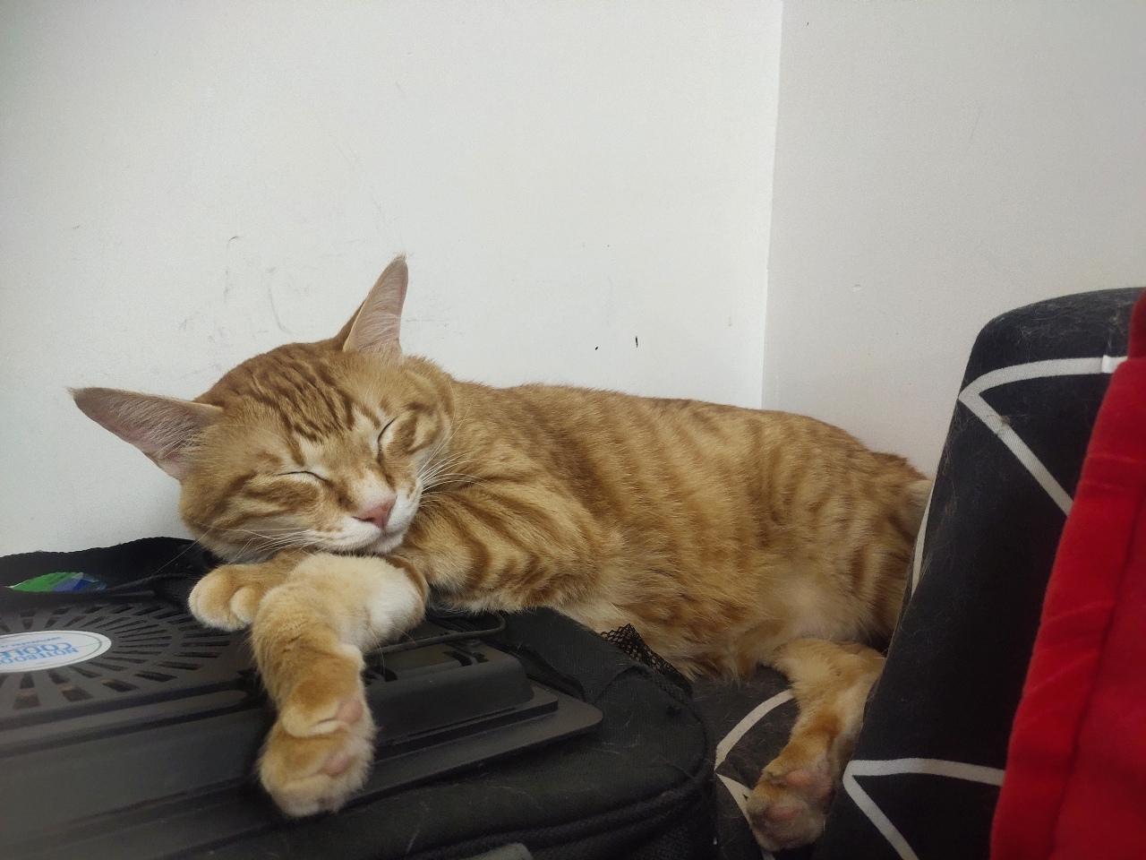 宠物猫无偿领养