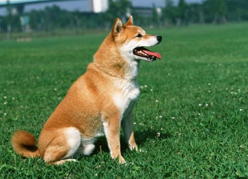 买一只中华田园犬幼犬