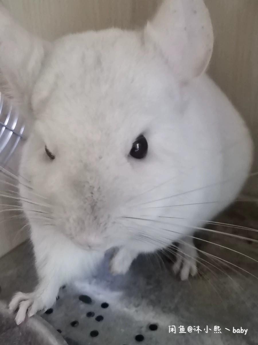 出售粉白龙猫一只