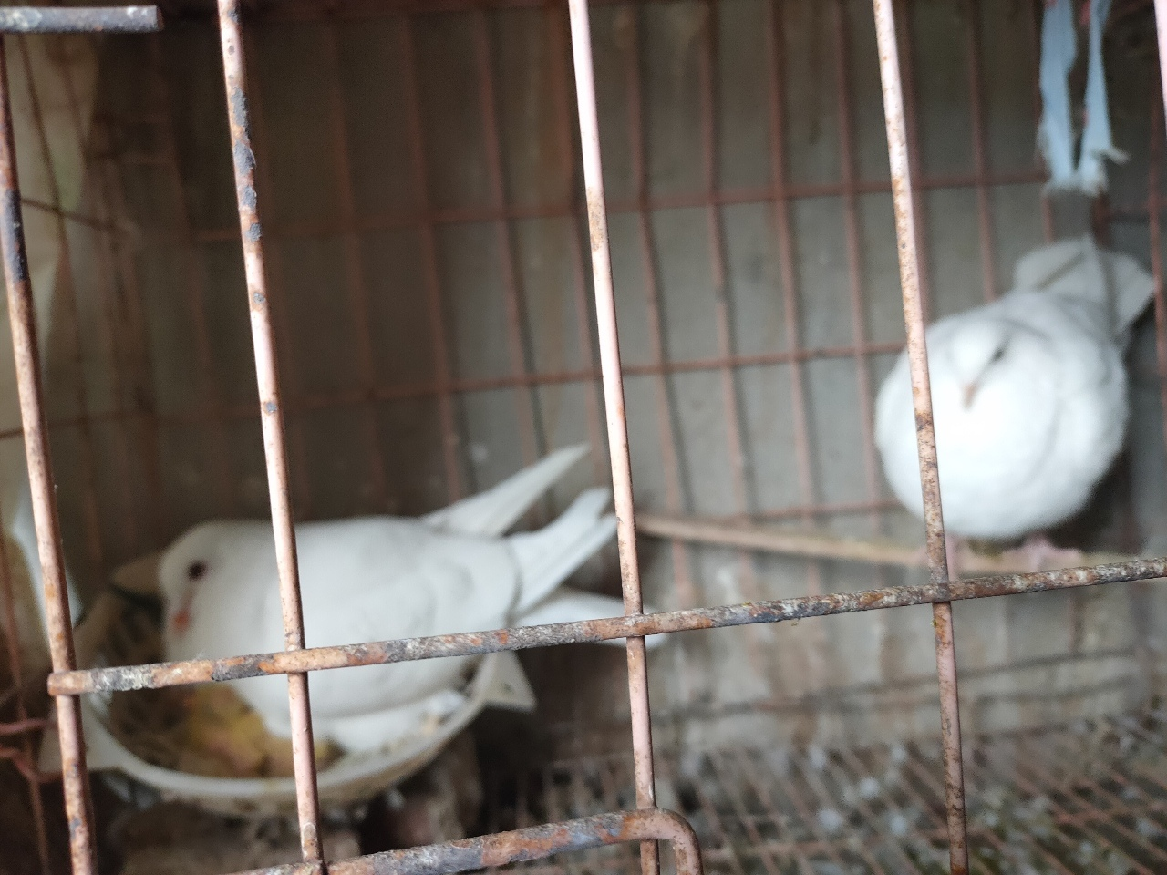 鴿子出售,50元一對