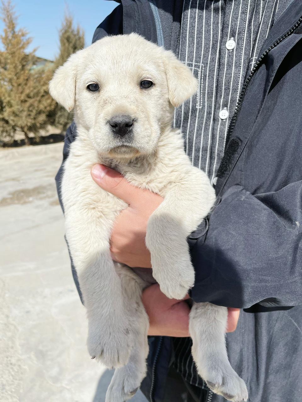 拉布拉多幼犬纯种