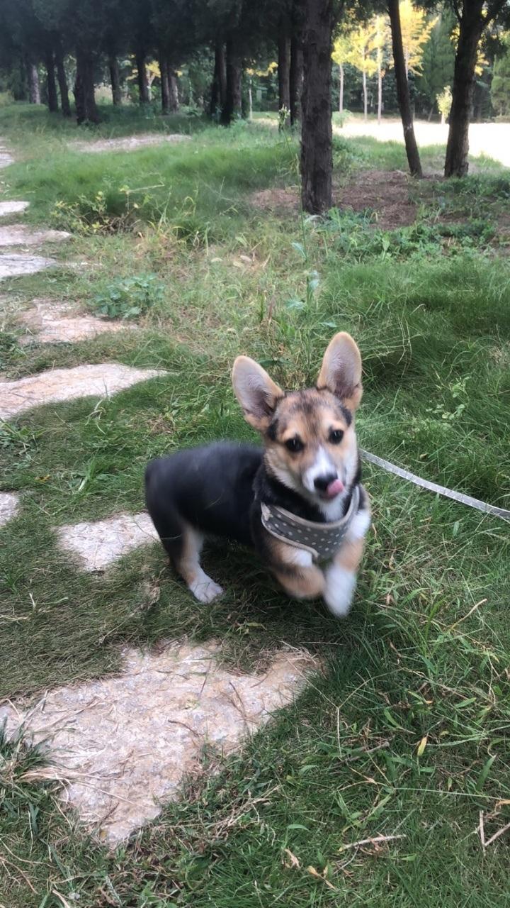 柯基8個月自家養三色小公犬有血統