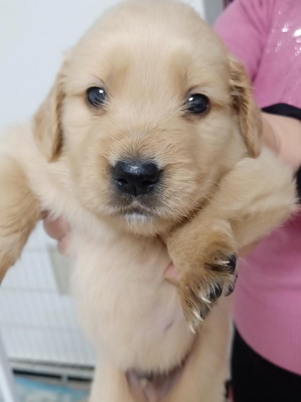 家养金毛幼犬出售