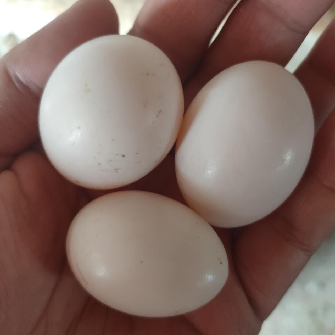 鸽子,鸽蛋出售