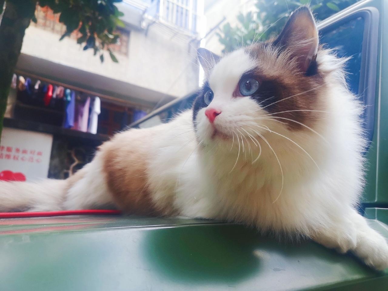 布偶猫一岁公猫找女朋友