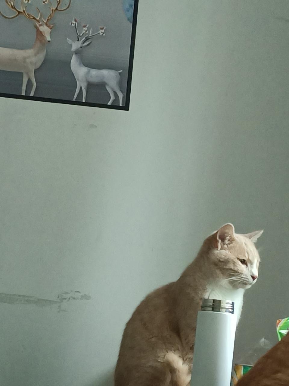 猫咪丢失寻找(已找到)