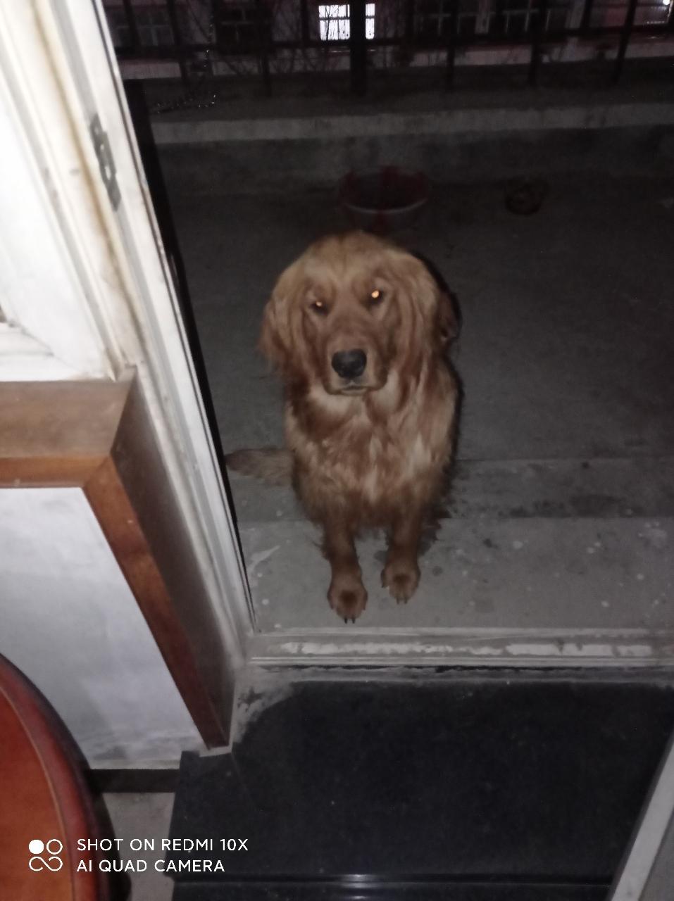 宠物狗出售 一岁半母