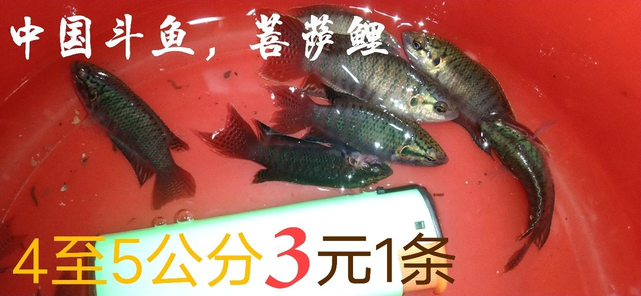 出中国斗鱼