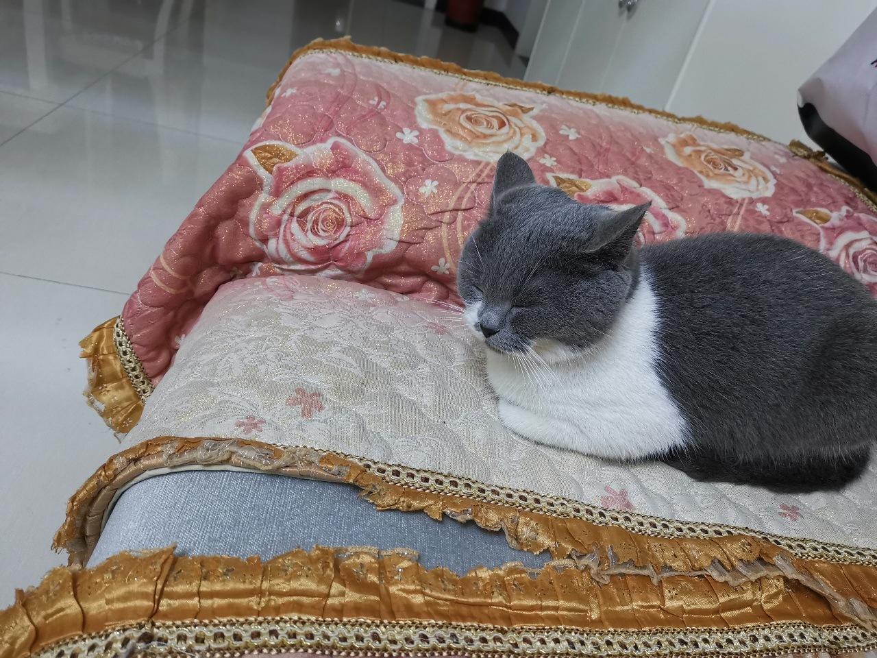 英短蓝白找同种公猫配种