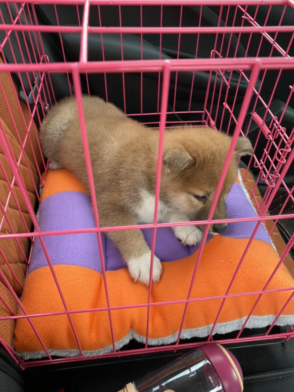 豆柴幼犬(2个月大)