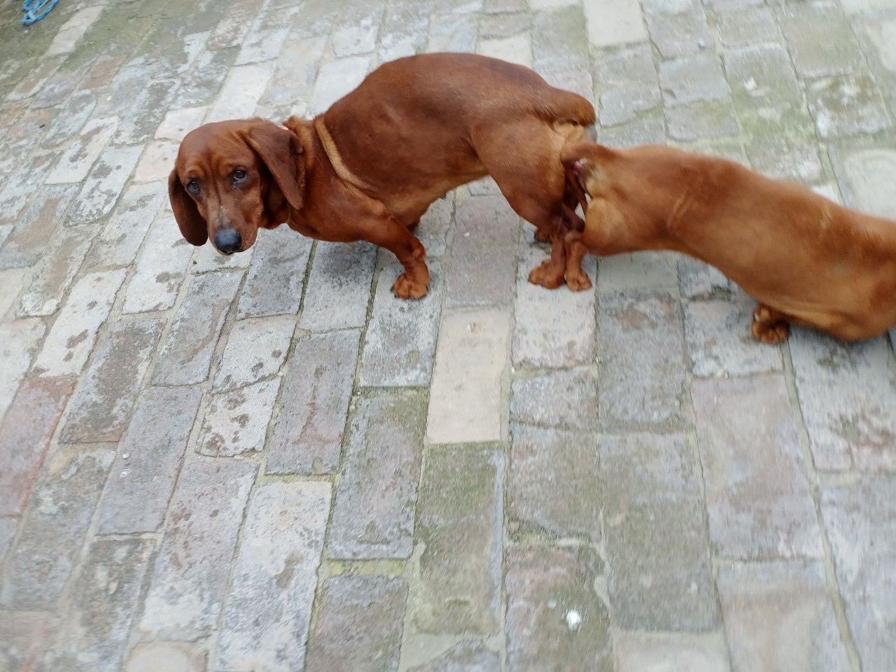 腊肠犬借配