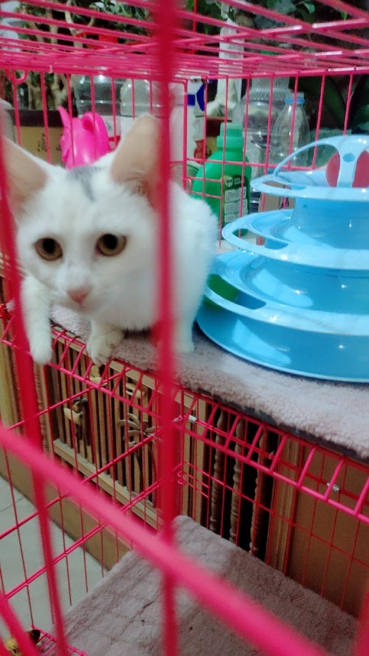 忍痛出售家養純白小貓咪一只