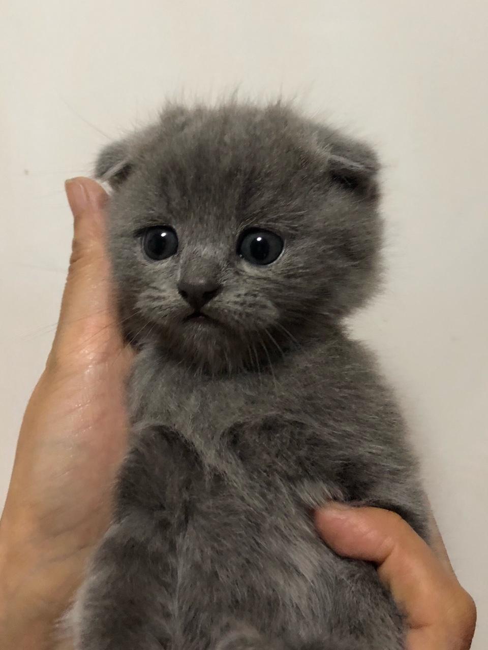 家有蓝猫出售