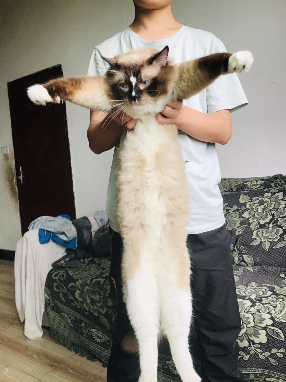 布偶 一岁两个月不到 十二斤的样子
