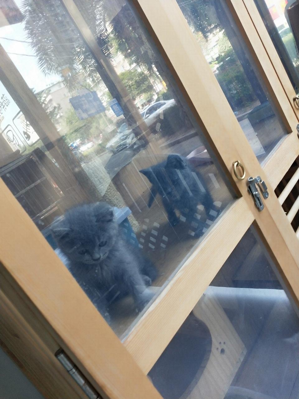 特价蓝猫需要联系我,宠物店出售