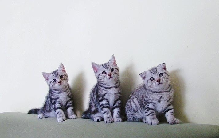 5月20日出生美短虎斑