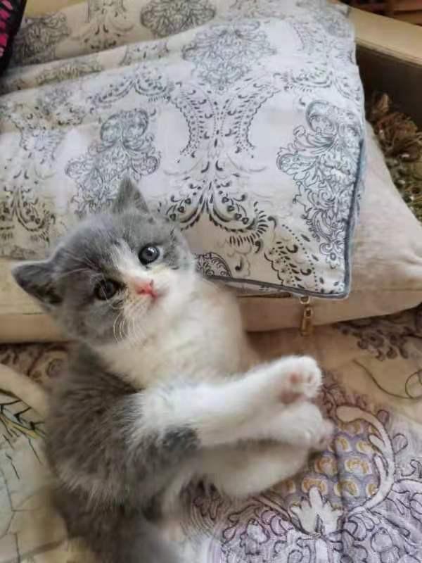 自家繁育小貓咪出售啦