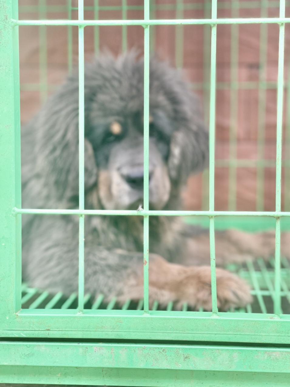犬舍繁殖纯种大狮头小藏獒货真价实