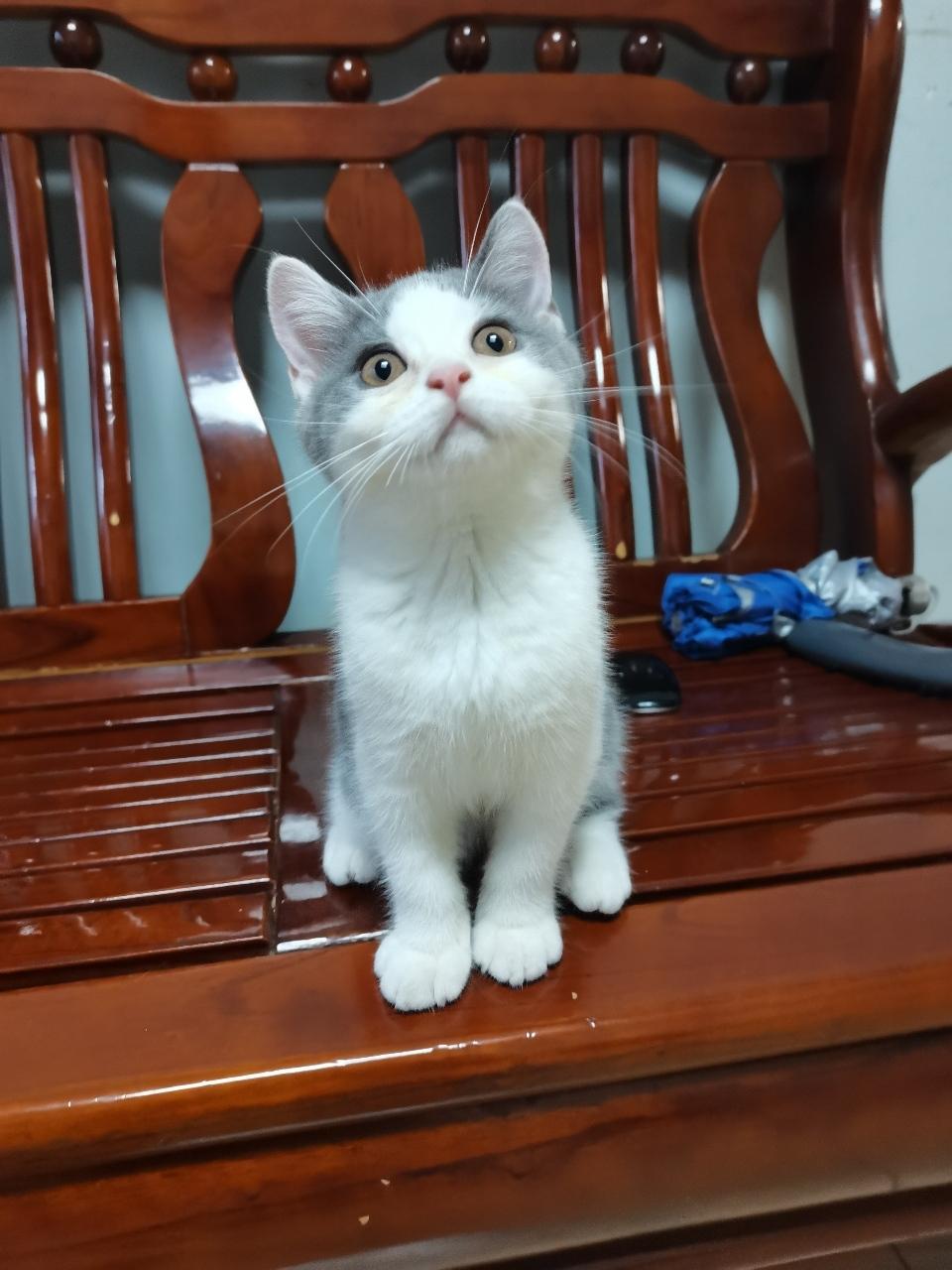 英短蓝白猫妹妹