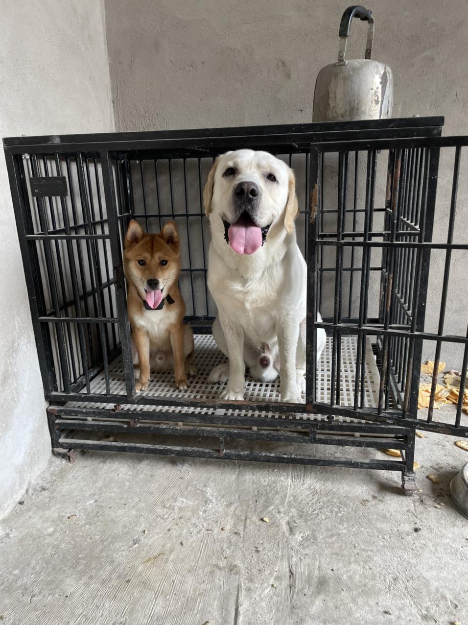 纯种柴犬,拉布拉多免费送养