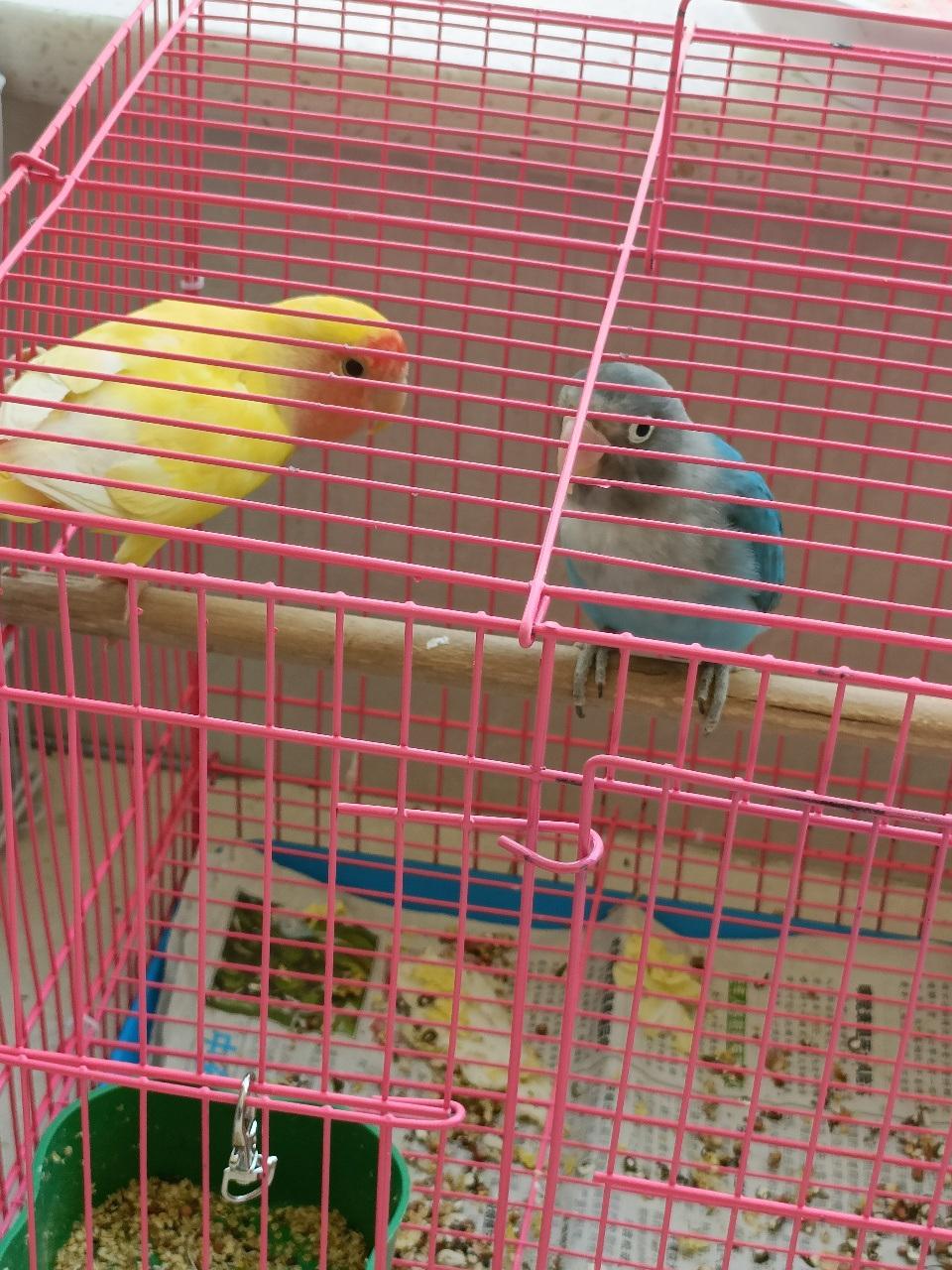 黄桃蓝桃一对带笼