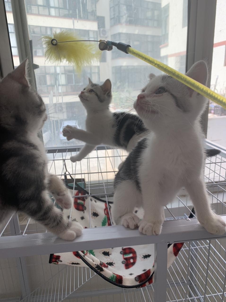 低价出售家养小猫已打疫苗会用猫砂吃猫粮