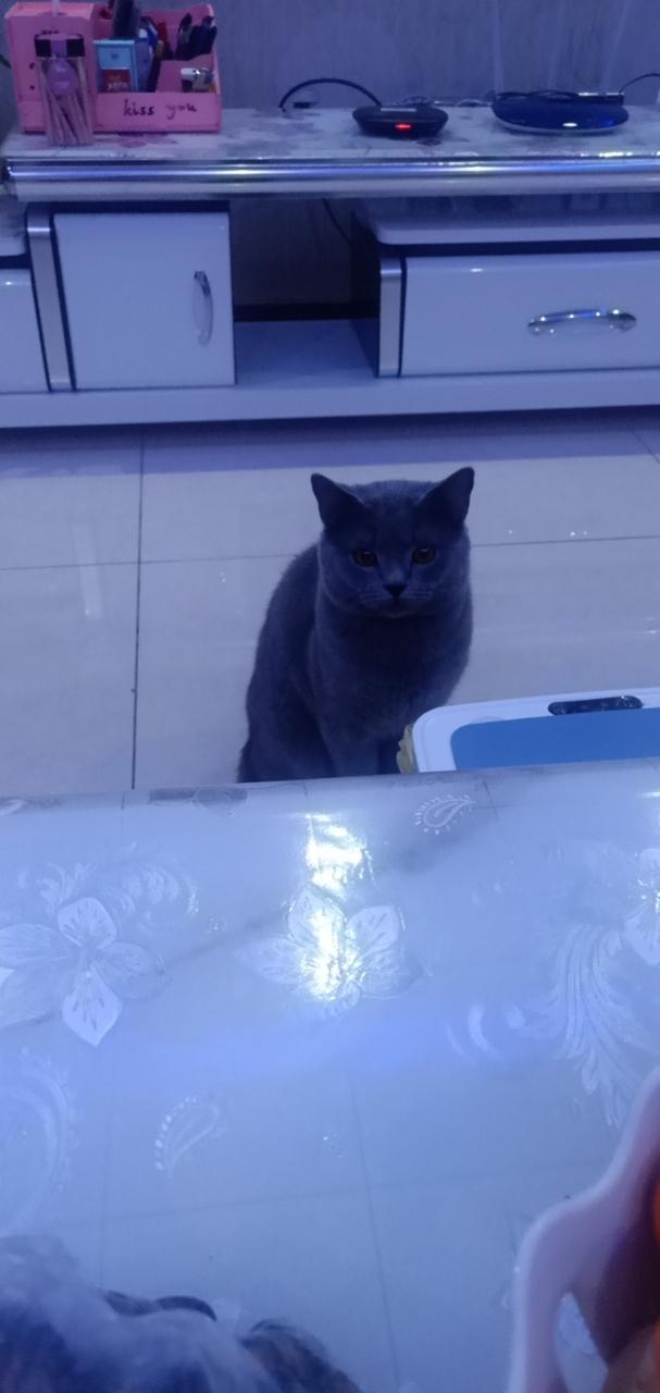 純血統藍貓