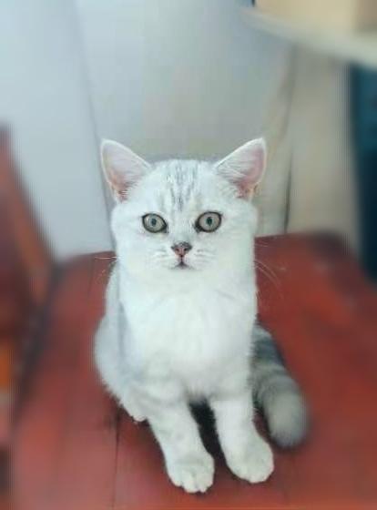 自家繁育美短三月龄猫咪出售