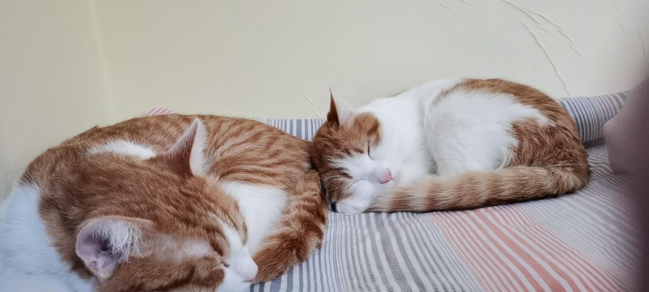 寵物貓免費領養