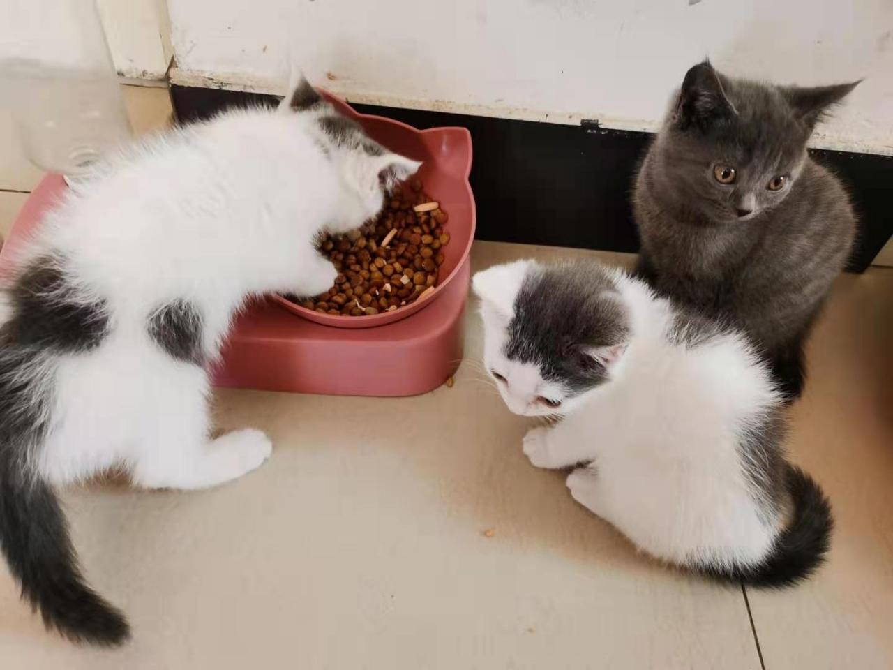 英短小貓咪