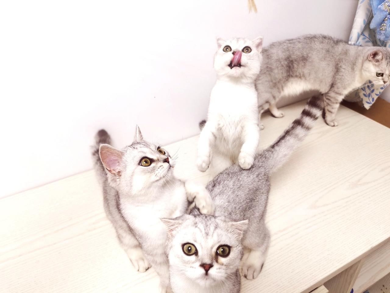 网红小猫咪丶银渐层!等你带回家!