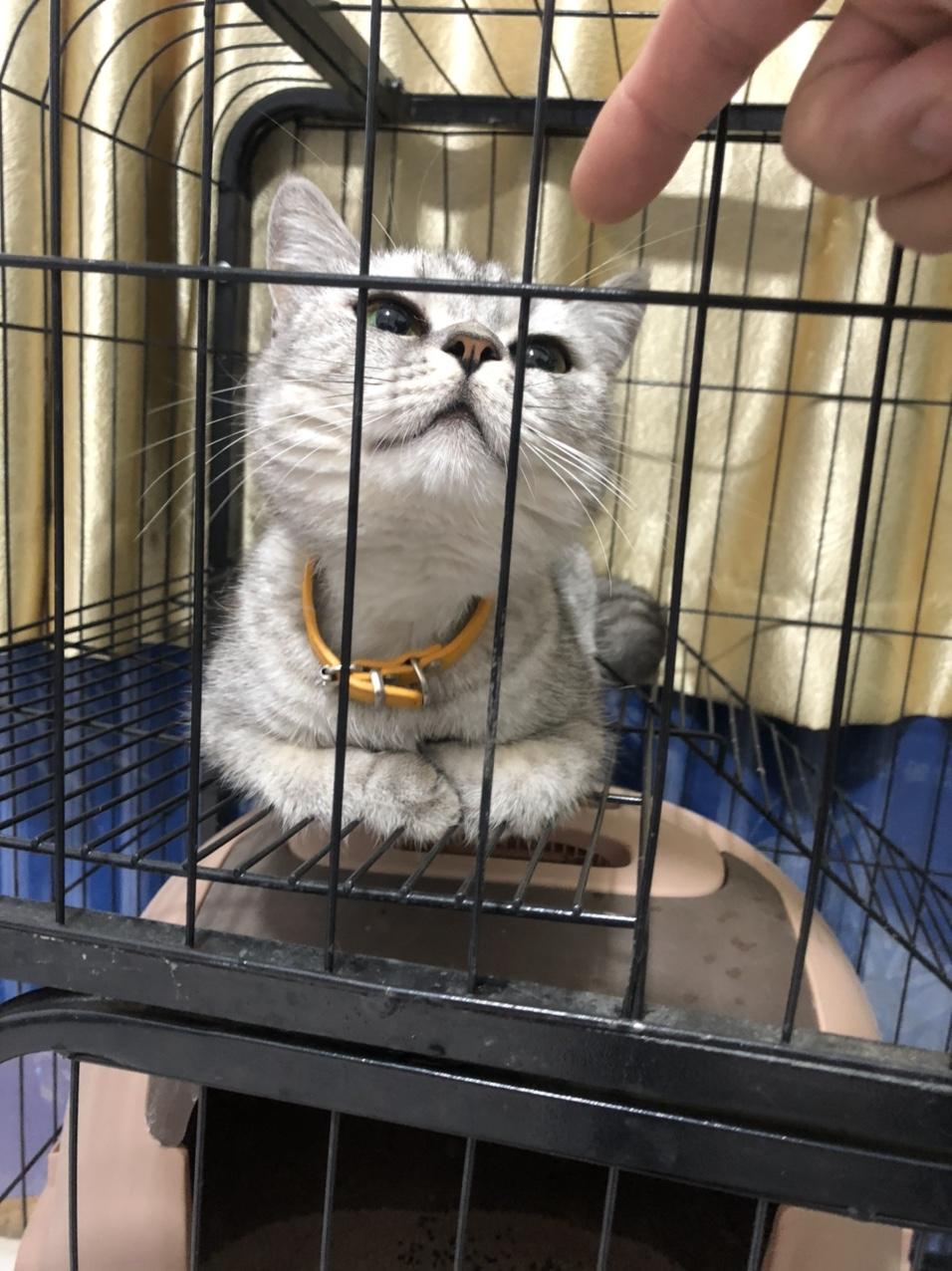 未做絕育的母貓