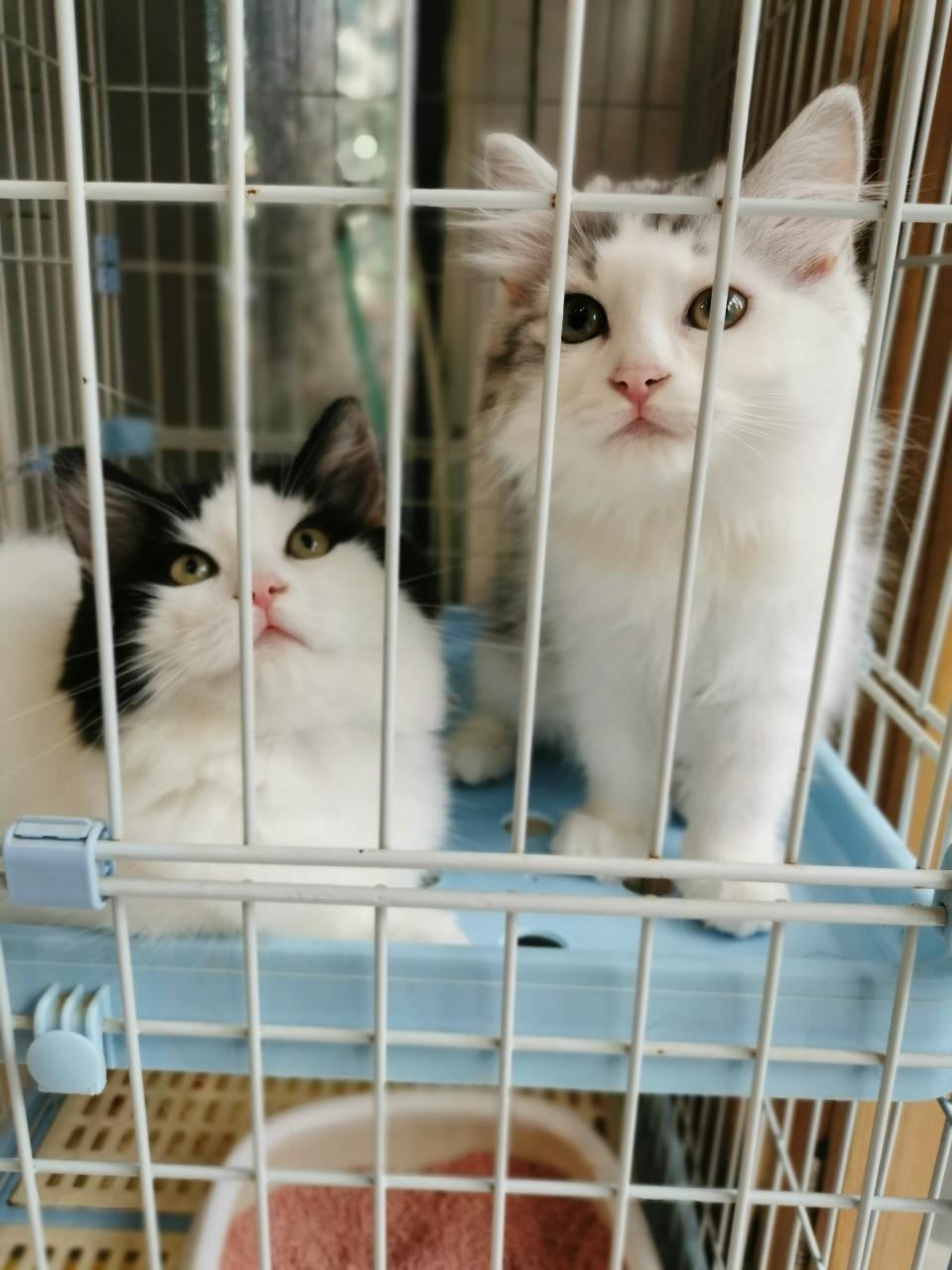 长毛银白蓝白两弟弟品相自观便宜出售!